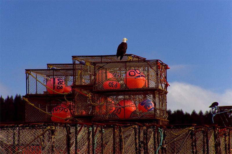 Eagle atop some crabpots at a fish processing plant in Kodiak.