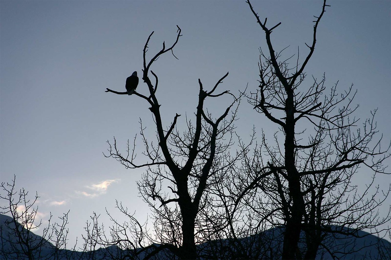 A content Bald Eagle didn't move for 2 hours during our run back and forth across the Island of Kodiak.