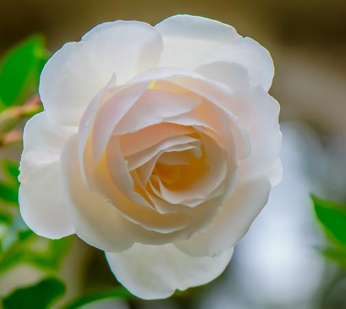 Open Rose