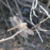 During an afternoon walk, this dragonfly held still long enough for me to capture an image.