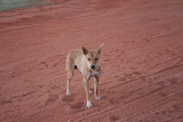 Not a cute puppy, but a Dingo in our Camp