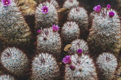Cactus Super Bloom