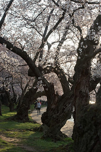 cherryblossoms-0351