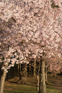 cherryblossoms-0304