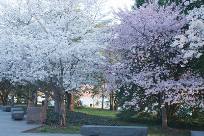 cherryblossoms-0273