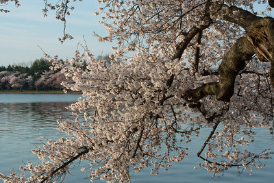 cherryblossoms-0342