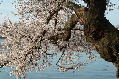 cherryblossoms-0348