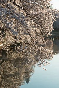 cherryblossoms-0479