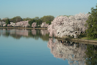cherryblossoms-0516