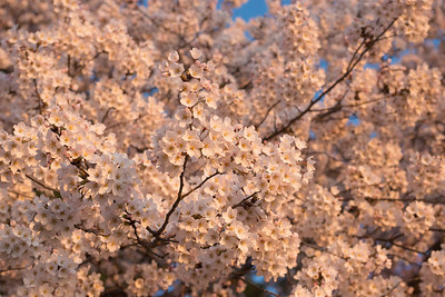 cherryblossoms-0260