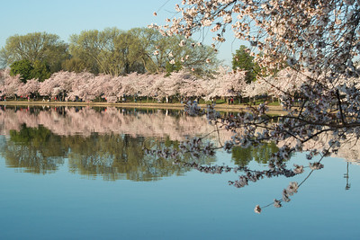 cherryblossoms-0488