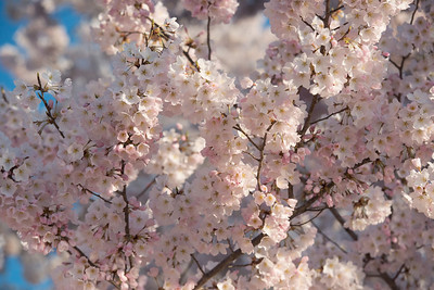 cherryblossoms-0499