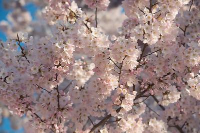 cherryblossoms-0499