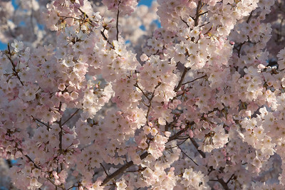 cherryblossoms-0498