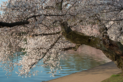 cherryblossoms-0367