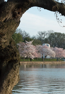 cherryblossoms-0307