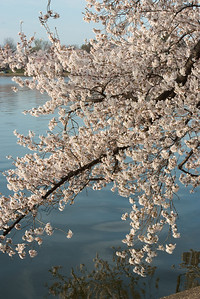 cherryblossoms-0352