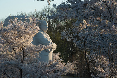 The MLK memorial in the morning light at the peak of the 2014 Cherry Blossoms (Washington DC)