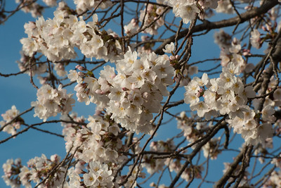 cherryblossoms-0380