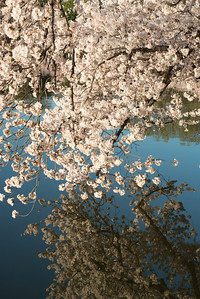 cherryblossoms-0483