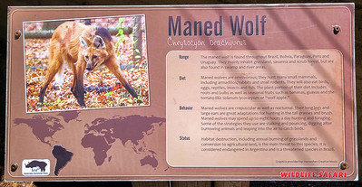 Maned Wolf from South America