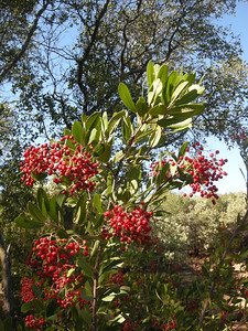 """Toyon """"Christmasberry"""" one of the prettiest evergreen plants in the chaparral"""