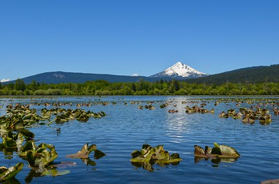 Wocus just starting to bloom on Pelican Bay with Mt McLoughlin