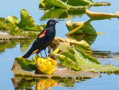 blackbirds on the wocus at Recreation Creek