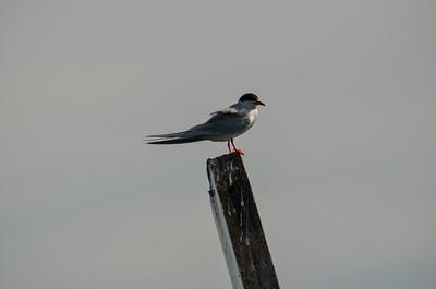 Common tern?