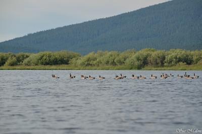 Canada gees in Pelican Bay