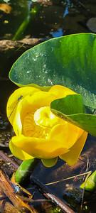 wocus in bloom