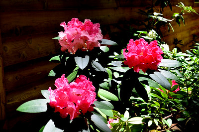 best bloom on the rhodies in a few years