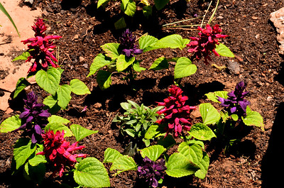 the little salvia bed is starting to go