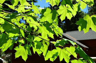 the maple has leafed out all the way for the Solstice