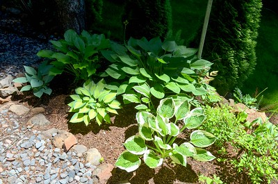 the hosta bed