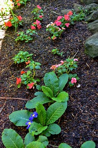 primrose and impatiens in the shade near the back porch
