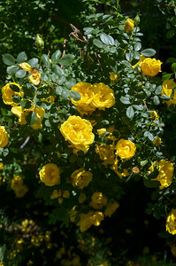 the yellow barn rose out by the shop