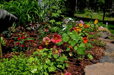 daylily bed in the back yard with blooming nasturtium