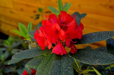 red rhodie in bloom