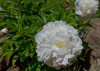 peonies along the driveway