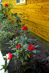 more red rhodies this year in bloom
