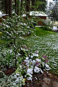 drooping flowers in the late spring snow