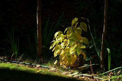 dogwood shrub on the west property line