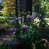 lavender rhodie doing well