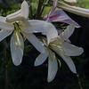 Liliaceae<br /> Lilium washingtonianum