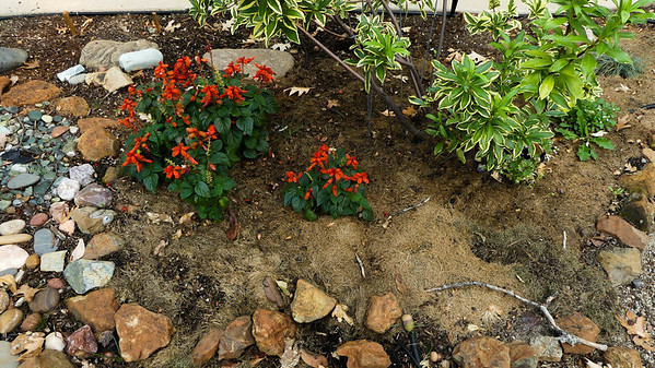 big difference in the salvia after I added the grass mulch