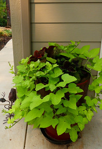 Chartreuse sweet potato vine really shines against the garage