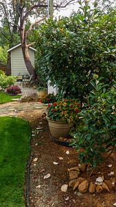 Mo trimmed all the photinia in early August.