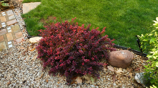 Love this little barberry and it is doing well.  We had to prune it on the lawn side since it was keeping water from the lawn.