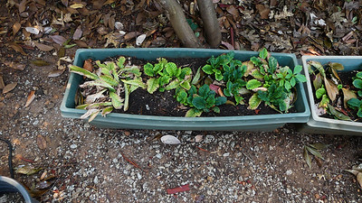 pots of transplanted primroses hidden under the shade of the photinia bushes until I can transplant them back to the sidewalk bed in the cool wet fall